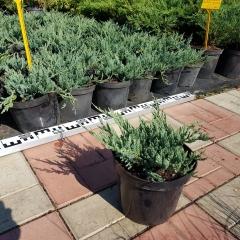 Juniperus Blue Chip опис