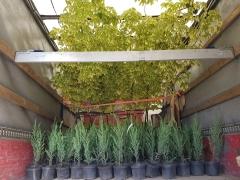 Juniperus scopolorum Skyrocket догляд