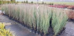 Juniperus scopulorum Skyrocket купити