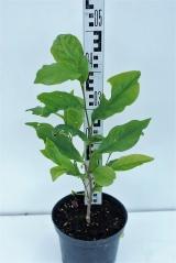 Магнолія гібридна Бетті висота рослини 40см
