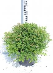 Спірея японська Літл Принцесс висота рослини 25см