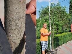 Верба козяча Кілманрок обхват стовбура 14-16см