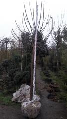 Катальпа бігнонієвидна висота 2,6-3м