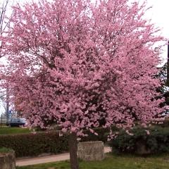 Слива розчепірена Піссарді(дерево)<br>Слива растопыренная Писсарди(дерево)<br>Prunus cerasifera Pissardii