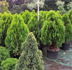 Platycladus orientalis Aurea Nana купити