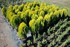 Platycladus Aurea Nana