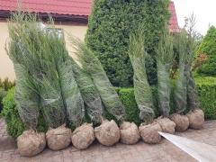 Juniperus scopolorum 'Blue Arrow'