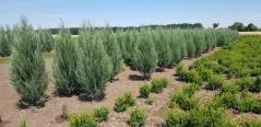 Ялівець скельний Juniperus scopolorum Blue Arrow ціна