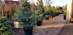 Picea pungens Glauca догляд