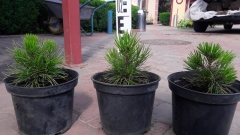Pinus leucodermis / Сосна білокора