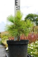 Сосна македонська Pinus peuсe купити