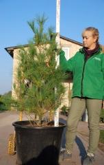 Сосна Pinus peuсe ціна