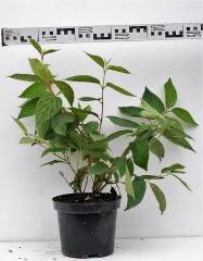 Калина складчаста Каскаде діаметр рослини 50см