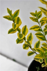 Бірючина овальнолистна Ауреум забарвлення листя