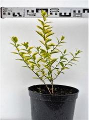 Бірючина овальнолистна Ауреум  діаметр рослини 30см
