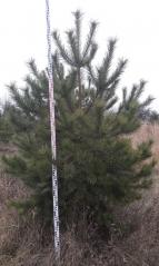 Сосна звичайна висота 2,7м