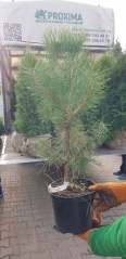 Pinus sylvestris догляд