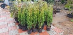 Thuja occidentalis Degroot Spire
