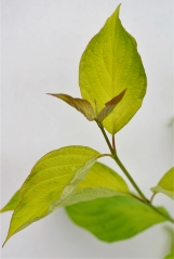 Дерен білий Ауреа забарвлення листа
