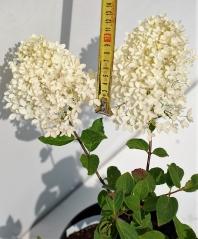Гортензія черешкова Грандіфлора розмір суцвіття