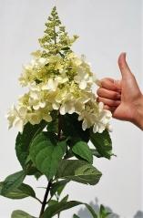 Гортензія черешкова Пінкі Вінкі PBR/® (суцвіття)