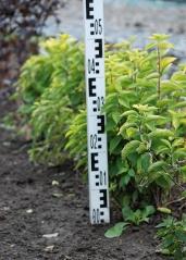 Чубушник вінечний / жасмін садовий Ауреус в полі