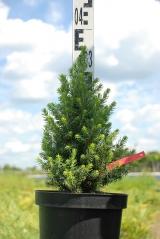 Ялина канадська Дейзі Уайт / Picea glauca Daisy's White