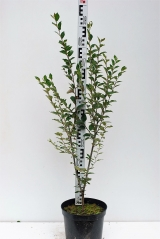 Кизильник блискучий висота рослини 90см