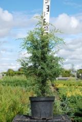 Juniperus communis Suecica посадка