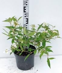 Калина складчаста Ватанабе висота рослини 25см