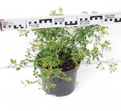 Троянда поліантова Вайт Фейрі діаметр рослини 40см
