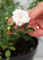 Троянда поліантова Вайт Фейрі цвітіння
