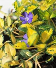 Барвінок малий Іллюмінейшн ®  забарвлення листя