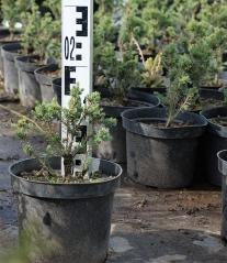 Ялина канадська Ехініформіс висота рослини 15см