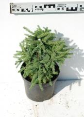 Ялина канадська Ехініформіс діаметр рослини 25см