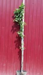 Слива домашня Ренклод Альтана (середня) висота дерева 1,9м