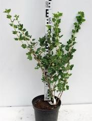 Агрус Колобок (середній) висота рослини 60см
