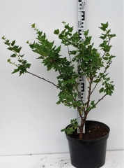 Агрус Чорномор (пізній) висота рослини 60см