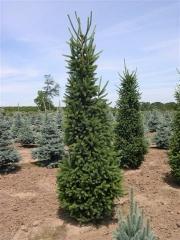 Picea abies Cupressina