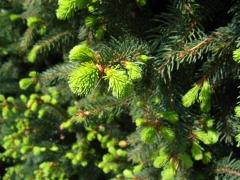 Picea abies Cupressina фото