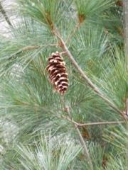 Сосна Веймутова Fastigiata (Pinus strobus Fastigiata) фото