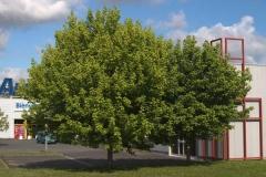 Клён ясенелистный Acer negundo