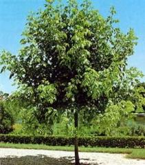 Клён ясенелистный Acer negundo (Клён американский, Явор)