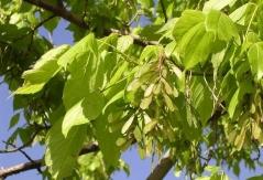 Клён ясенелистный Acer negundo Купить