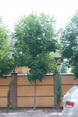 Клен гостролистий алейне дерево