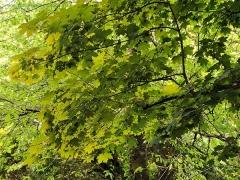 Клен гостролистий (листя)