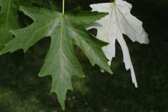 Acer saccharinum Київ