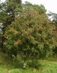 Горобина звичайна (Sorbus aucuparia)