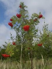 Горобина червоноплідна фото