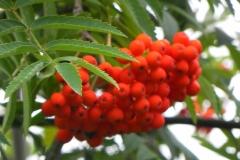 Горобина звичайна плоди